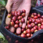 Waarom je de duurste koffie ter wereld niet moet drinken